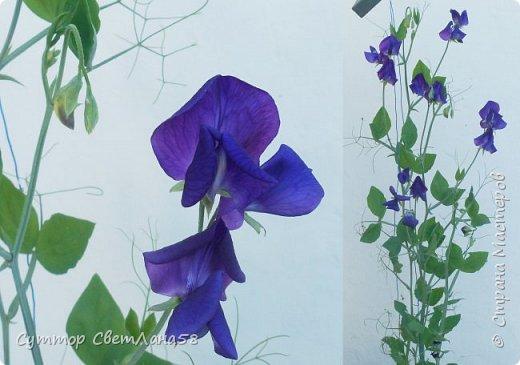 Цветок душистого горошка из холодного фарфора без вырубок (катеров), поэтапный мастер- класс  фото 5