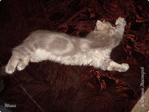 """Как я уже писала вот здесь  http://stranamasterov.ru/node/976335  у нас живут 2 кошки+2 кота и 2 собаки.  Живём мы в частном доме, места для животных больше, чем достаточно.  И наконец-то я собралась с силами и мыслями (и те и другие бывают попеременно)  написать об остальных наших любимцах.  Знакомьтесь - Томас. Он же - Сер Том. Он же - Томашек, он же- Масяня, он же - Маха. В зависимости от ситуации и степени шкодности. Таким мы принесли его домой 7 лет назад. История появления - это отдельная история. После того, как у нас пропал бесследно очередной кот, после наших с дочей слёз по поводу пропажи, муж сказал: """"Никаких котов! Хватит!""""  Оно и понятно, вынянчили, выкормили, обласканный, зацелованный всеми. Знакомо, думаю, многим любителям этих хвостатых. Но... в очередной поход на рынок с дочей и будущим зятем, при входе в рынок, увидели дяденьку, продающего эту серую прелесть! В машине их было штук 6-7. Остановились посмотреть.  Ушли с покупкой, после уговоров дочи и зятя: """"Ну посмотри какие красивые! Ну давай возьмём!""""  Мои аргументы, что папа против, были отброшены одним аргументом: """"Ну он же его ещё не видел! Он же - няшка! Папа его сразу полюбит!"""" Да и как его можно было не полюбить! Взяли. Несём папе. Кто признается в покупке?!  Мама, конечно же! Но показали Томаса папе дети. И... папа влюбился в него с первого взгляда! А эта серая шкодина и сейчас отдаёт ему предпочтение между всеми нами! Имя ему придумывали не очень долго. Как-то само пришло - Том, Томас. фото 7"""