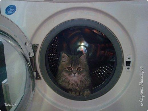"""Как я уже писала вот здесь  http://stranamasterov.ru/node/976335  у нас живут 2 кошки+2 кота и 2 собаки.  Живём мы в частном доме, места для животных больше, чем достаточно.  И наконец-то я собралась с силами и мыслями (и те и другие бывают попеременно)  написать об остальных наших любимцах.  Знакомьтесь - Томас. Он же - Сер Том. Он же - Томашек, он же- Масяня, он же - Маха. В зависимости от ситуации и степени шкодности. Таким мы принесли его домой 7 лет назад. История появления - это отдельная история. После того, как у нас пропал бесследно очередной кот, после наших с дочей слёз по поводу пропажи, муж сказал: """"Никаких котов! Хватит!""""  Оно и понятно, вынянчили, выкормили, обласканный, зацелованный всеми. Знакомо, думаю, многим любителям этих хвостатых. Но... в очередной поход на рынок с дочей и будущим зятем, при входе в рынок, увидели дяденьку, продающего эту серую прелесть! В машине их было штук 6-7. Остановились посмотреть.  Ушли с покупкой, после уговоров дочи и зятя: """"Ну посмотри какие красивые! Ну давай возьмём!""""  Мои аргументы, что папа против, были отброшены одним аргументом: """"Ну он же его ещё не видел! Он же - няшка! Папа его сразу полюбит!"""" Да и как его можно было не полюбить! Взяли. Несём папе. Кто признается в покупке?!  Мама, конечно же! Но показали Томаса папе дети. И... папа влюбился в него с первого взгляда! А эта серая шкодина и сейчас отдаёт ему предпочтение между всеми нами! Имя ему придумывали не очень долго. Как-то само пришло - Том, Томас. фото 9"""
