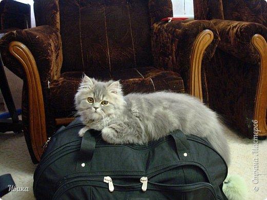 """Как я уже писала вот здесь  http://stranamasterov.ru/node/976335  у нас живут 2 кошки+2 кота и 2 собаки.  Живём мы в частном доме, места для животных больше, чем достаточно.  И наконец-то я собралась с силами и мыслями (и те и другие бывают попеременно)  написать об остальных наших любимцах.  Знакомьтесь - Томас. Он же - Сер Том. Он же - Томашек, он же- Масяня, он же - Маха. В зависимости от ситуации и степени шкодности. Таким мы принесли его домой 7 лет назад. История появления - это отдельная история. После того, как у нас пропал бесследно очередной кот, после наших с дочей слёз по поводу пропажи, муж сказал: """"Никаких котов! Хватит!""""  Оно и понятно, вынянчили, выкормили, обласканный, зацелованный всеми. Знакомо, думаю, многим любителям этих хвостатых. Но... в очередной поход на рынок с дочей и будущим зятем, при входе в рынок, увидели дяденьку, продающего эту серую прелесть! В машине их было штук 6-7. Остановились посмотреть.  Ушли с покупкой, после уговоров дочи и зятя: """"Ну посмотри какие красивые! Ну давай возьмём!""""  Мои аргументы, что папа против, были отброшены одним аргументом: """"Ну он же его ещё не видел! Он же - няшка! Папа его сразу полюбит!"""" Да и как его можно было не полюбить! Взяли. Несём папе. Кто признается в покупке?!  Мама, конечно же! Но показали Томаса папе дети. И... папа влюбился в него с первого взгляда! А эта серая шкодина и сейчас отдаёт ему предпочтение между всеми нами! Имя ему придумывали не очень долго. Как-то само пришло - Том, Томас. фото 15"""