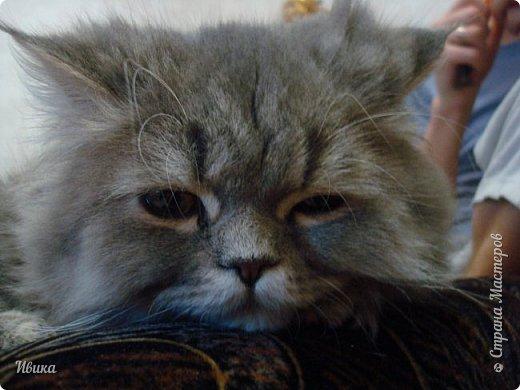 """Как я уже писала вот здесь  http://stranamasterov.ru/node/976335  у нас живут 2 кошки+2 кота и 2 собаки.  Живём мы в частном доме, места для животных больше, чем достаточно.  И наконец-то я собралась с силами и мыслями (и те и другие бывают попеременно)  написать об остальных наших любимцах.  Знакомьтесь - Томас. Он же - Сер Том. Он же - Томашек, он же- Масяня, он же - Маха. В зависимости от ситуации и степени шкодности. Таким мы принесли его домой 7 лет назад. История появления - это отдельная история. После того, как у нас пропал бесследно очередной кот, после наших с дочей слёз по поводу пропажи, муж сказал: """"Никаких котов! Хватит!""""  Оно и понятно, вынянчили, выкормили, обласканный, зацелованный всеми. Знакомо, думаю, многим любителям этих хвостатых. Но... в очередной поход на рынок с дочей и будущим зятем, при входе в рынок, увидели дяденьку, продающего эту серую прелесть! В машине их было штук 6-7. Остановились посмотреть.  Ушли с покупкой, после уговоров дочи и зятя: """"Ну посмотри какие красивые! Ну давай возьмём!""""  Мои аргументы, что папа против, были отброшены одним аргументом: """"Ну он же его ещё не видел! Он же - няшка! Папа его сразу полюбит!"""" Да и как его можно было не полюбить! Взяли. Несём папе. Кто признается в покупке?!  Мама, конечно же! Но показали Томаса папе дети. И... папа влюбился в него с первого взгляда! А эта серая шкодина и сейчас отдаёт ему предпочтение между всеми нами! Имя ему придумывали не очень долго. Как-то само пришло - Том, Томас. фото 12"""