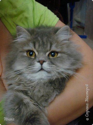 """Как я уже писала вот здесь  http://stranamasterov.ru/node/976335  у нас живут 2 кошки+2 кота и 2 собаки.  Живём мы в частном доме, места для животных больше, чем достаточно.  И наконец-то я собралась с силами и мыслями (и те и другие бывают попеременно)  написать об остальных наших любимцах.  Знакомьтесь - Томас. Он же - Сер Том. Он же - Томашек, он же- Масяня, он же - Маха. В зависимости от ситуации и степени шкодности. Таким мы принесли его домой 7 лет назад. История появления - это отдельная история. После того, как у нас пропал бесследно очередной кот, после наших с дочей слёз по поводу пропажи, муж сказал: """"Никаких котов! Хватит!""""  Оно и понятно, вынянчили, выкормили, обласканный, зацелованный всеми. Знакомо, думаю, многим любителям этих хвостатых. Но... в очередной поход на рынок с дочей и будущим зятем, при входе в рынок, увидели дяденьку, продающего эту серую прелесть! В машине их было штук 6-7. Остановились посмотреть.  Ушли с покупкой, после уговоров дочи и зятя: """"Ну посмотри какие красивые! Ну давай возьмём!""""  Мои аргументы, что папа против, были отброшены одним аргументом: """"Ну он же его ещё не видел! Он же - няшка! Папа его сразу полюбит!"""" Да и как его можно было не полюбить! Взяли. Несём папе. Кто признается в покупке?!  Мама, конечно же! Но показали Томаса папе дети. И... папа влюбился в него с первого взгляда! А эта серая шкодина и сейчас отдаёт ему предпочтение между всеми нами! Имя ему придумывали не очень долго. Как-то само пришло - Том, Томас. фото 24"""