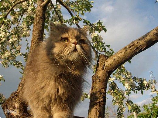 """Как я уже писала вот здесь  http://stranamasterov.ru/node/976335  у нас живут 2 кошки+2 кота и 2 собаки.  Живём мы в частном доме, места для животных больше, чем достаточно.  И наконец-то я собралась с силами и мыслями (и те и другие бывают попеременно)  написать об остальных наших любимцах.  Знакомьтесь - Томас. Он же - Сер Том. Он же - Томашек, он же- Масяня, он же - Маха. В зависимости от ситуации и степени шкодности. Таким мы принесли его домой 7 лет назад. История появления - это отдельная история. После того, как у нас пропал бесследно очередной кот, после наших с дочей слёз по поводу пропажи, муж сказал: """"Никаких котов! Хватит!""""  Оно и понятно, вынянчили, выкормили, обласканный, зацелованный всеми. Знакомо, думаю, многим любителям этих хвостатых. Но... в очередной поход на рынок с дочей и будущим зятем, при входе в рынок, увидели дяденьку, продающего эту серую прелесть! В машине их было штук 6-7. Остановились посмотреть.  Ушли с покупкой, после уговоров дочи и зятя: """"Ну посмотри какие красивые! Ну давай возьмём!""""  Мои аргументы, что папа против, были отброшены одним аргументом: """"Ну он же его ещё не видел! Он же - няшка! Папа его сразу полюбит!"""" Да и как его можно было не полюбить! Взяли. Несём папе. Кто признается в покупке?!  Мама, конечно же! Но показали Томаса папе дети. И... папа влюбился в него с первого взгляда! А эта серая шкодина и сейчас отдаёт ему предпочтение между всеми нами! Имя ему придумывали не очень долго. Как-то само пришло - Том, Томас. фото 22"""