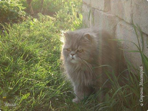 """Как я уже писала вот здесь  http://stranamasterov.ru/node/976335  у нас живут 2 кошки+2 кота и 2 собаки.  Живём мы в частном доме, места для животных больше, чем достаточно.  И наконец-то я собралась с силами и мыслями (и те и другие бывают попеременно)  написать об остальных наших любимцах.  Знакомьтесь - Томас. Он же - Сер Том. Он же - Томашек, он же- Масяня, он же - Маха. В зависимости от ситуации и степени шкодности. Таким мы принесли его домой 7 лет назад. История появления - это отдельная история. После того, как у нас пропал бесследно очередной кот, после наших с дочей слёз по поводу пропажи, муж сказал: """"Никаких котов! Хватит!""""  Оно и понятно, вынянчили, выкормили, обласканный, зацелованный всеми. Знакомо, думаю, многим любителям этих хвостатых. Но... в очередной поход на рынок с дочей и будущим зятем, при входе в рынок, увидели дяденьку, продающего эту серую прелесть! В машине их было штук 6-7. Остановились посмотреть.  Ушли с покупкой, после уговоров дочи и зятя: """"Ну посмотри какие красивые! Ну давай возьмём!""""  Мои аргументы, что папа против, были отброшены одним аргументом: """"Ну он же его ещё не видел! Он же - няшка! Папа его сразу полюбит!"""" Да и как его можно было не полюбить! Взяли. Несём папе. Кто признается в покупке?!  Мама, конечно же! Но показали Томаса папе дети. И... папа влюбился в него с первого взгляда! А эта серая шкодина и сейчас отдаёт ему предпочтение между всеми нами! Имя ему придумывали не очень долго. Как-то само пришло - Том, Томас. фото 23"""
