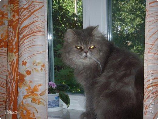 """Как я уже писала вот здесь  http://stranamasterov.ru/node/976335  у нас живут 2 кошки+2 кота и 2 собаки.  Живём мы в частном доме, места для животных больше, чем достаточно.  И наконец-то я собралась с силами и мыслями (и те и другие бывают попеременно)  написать об остальных наших любимцах.  Знакомьтесь - Томас. Он же - Сер Том. Он же - Томашек, он же- Масяня, он же - Маха. В зависимости от ситуации и степени шкодности. Таким мы принесли его домой 7 лет назад. История появления - это отдельная история. После того, как у нас пропал бесследно очередной кот, после наших с дочей слёз по поводу пропажи, муж сказал: """"Никаких котов! Хватит!""""  Оно и понятно, вынянчили, выкормили, обласканный, зацелованный всеми. Знакомо, думаю, многим любителям этих хвостатых. Но... в очередной поход на рынок с дочей и будущим зятем, при входе в рынок, увидели дяденьку, продающего эту серую прелесть! В машине их было штук 6-7. Остановились посмотреть.  Ушли с покупкой, после уговоров дочи и зятя: """"Ну посмотри какие красивые! Ну давай возьмём!""""  Мои аргументы, что папа против, были отброшены одним аргументом: """"Ну он же его ещё не видел! Он же - няшка! Папа его сразу полюбит!"""" Да и как его можно было не полюбить! Взяли. Несём папе. Кто признается в покупке?!  Мама, конечно же! Но показали Томаса папе дети. И... папа влюбился в него с первого взгляда! А эта серая шкодина и сейчас отдаёт ему предпочтение между всеми нами! Имя ему придумывали не очень долго. Как-то само пришло - Том, Томас. фото 27"""