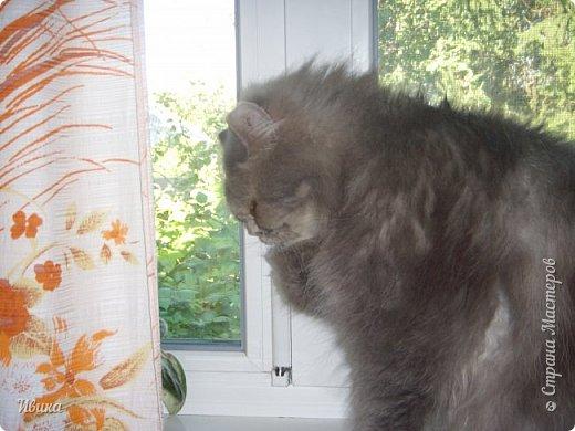 """Как я уже писала вот здесь  http://stranamasterov.ru/node/976335  у нас живут 2 кошки+2 кота и 2 собаки.  Живём мы в частном доме, места для животных больше, чем достаточно.  И наконец-то я собралась с силами и мыслями (и те и другие бывают попеременно)  написать об остальных наших любимцах.  Знакомьтесь - Томас. Он же - Сер Том. Он же - Томашек, он же- Масяня, он же - Маха. В зависимости от ситуации и степени шкодности. Таким мы принесли его домой 7 лет назад. История появления - это отдельная история. После того, как у нас пропал бесследно очередной кот, после наших с дочей слёз по поводу пропажи, муж сказал: """"Никаких котов! Хватит!""""  Оно и понятно, вынянчили, выкормили, обласканный, зацелованный всеми. Знакомо, думаю, многим любителям этих хвостатых. Но... в очередной поход на рынок с дочей и будущим зятем, при входе в рынок, увидели дяденьку, продающего эту серую прелесть! В машине их было штук 6-7. Остановились посмотреть.  Ушли с покупкой, после уговоров дочи и зятя: """"Ну посмотри какие красивые! Ну давай возьмём!""""  Мои аргументы, что папа против, были отброшены одним аргументом: """"Ну он же его ещё не видел! Он же - няшка! Папа его сразу полюбит!"""" Да и как его можно было не полюбить! Взяли. Несём папе. Кто признается в покупке?!  Мама, конечно же! Но показали Томаса папе дети. И... папа влюбился в него с первого взгляда! А эта серая шкодина и сейчас отдаёт ему предпочтение между всеми нами! Имя ему придумывали не очень долго. Как-то само пришло - Том, Томас. фото 25"""