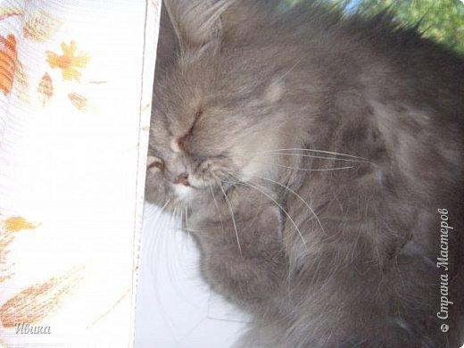 """Как я уже писала вот здесь  http://stranamasterov.ru/node/976335  у нас живут 2 кошки+2 кота и 2 собаки.  Живём мы в частном доме, места для животных больше, чем достаточно.  И наконец-то я собралась с силами и мыслями (и те и другие бывают попеременно)  написать об остальных наших любимцах.  Знакомьтесь - Томас. Он же - Сер Том. Он же - Томашек, он же- Масяня, он же - Маха. В зависимости от ситуации и степени шкодности. Таким мы принесли его домой 7 лет назад. История появления - это отдельная история. После того, как у нас пропал бесследно очередной кот, после наших с дочей слёз по поводу пропажи, муж сказал: """"Никаких котов! Хватит!""""  Оно и понятно, вынянчили, выкормили, обласканный, зацелованный всеми. Знакомо, думаю, многим любителям этих хвостатых. Но... в очередной поход на рынок с дочей и будущим зятем, при входе в рынок, увидели дяденьку, продающего эту серую прелесть! В машине их было штук 6-7. Остановились посмотреть.  Ушли с покупкой, после уговоров дочи и зятя: """"Ну посмотри какие красивые! Ну давай возьмём!""""  Мои аргументы, что папа против, были отброшены одним аргументом: """"Ну он же его ещё не видел! Он же - няшка! Папа его сразу полюбит!"""" Да и как его можно было не полюбить! Взяли. Несём папе. Кто признается в покупке?!  Мама, конечно же! Но показали Томаса папе дети. И... папа влюбился в него с первого взгляда! А эта серая шкодина и сейчас отдаёт ему предпочтение между всеми нами! Имя ему придумывали не очень долго. Как-то само пришло - Том, Томас. фото 26"""