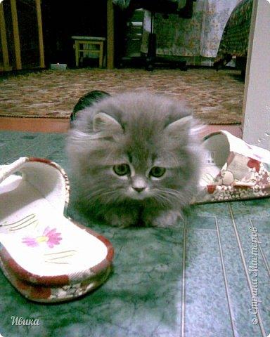 """Как я уже писала вот здесь  http://stranamasterov.ru/node/976335  у нас живут 2 кошки+2 кота и 2 собаки.  Живём мы в частном доме, места для животных больше, чем достаточно.  И наконец-то я собралась с силами и мыслями (и те и другие бывают попеременно)  написать об остальных наших любимцах.  Знакомьтесь - Томас. Он же - Сер Том. Он же - Томашек, он же- Масяня, он же - Маха. В зависимости от ситуации и степени шкодности. Таким мы принесли его домой 7 лет назад. История появления - это отдельная история. После того, как у нас пропал бесследно очередной кот, после наших с дочей слёз по поводу пропажи, муж сказал: """"Никаких котов! Хватит!""""  Оно и понятно, вынянчили, выкормили, обласканный, зацелованный всеми. Знакомо, думаю, многим любителям этих хвостатых. Но... в очередной поход на рынок с дочей и будущим зятем, при входе в рынок, увидели дяденьку, продающего эту серую прелесть! В машине их было штук 6-7. Остановились посмотреть.  Ушли с покупкой, после уговоров дочи и зятя: """"Ну посмотри какие красивые! Ну давай возьмём!""""  Мои аргументы, что папа против, были отброшены одним аргументом: """"Ну он же его ещё не видел! Он же - няшка! Папа его сразу полюбит!"""" Да и как его можно было не полюбить! Взяли. Несём папе. Кто признается в покупке?!  Мама, конечно же! Но показали Томаса папе дети. И... папа влюбился в него с первого взгляда! А эта серая шкодина и сейчас отдаёт ему предпочтение между всеми нами! Имя ему придумывали не очень долго. Как-то само пришло - Том, Томас. фото 2"""
