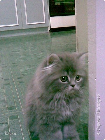 """Как я уже писала вот здесь  http://stranamasterov.ru/node/976335  у нас живут 2 кошки+2 кота и 2 собаки.  Живём мы в частном доме, места для животных больше, чем достаточно.  И наконец-то я собралась с силами и мыслями (и те и другие бывают попеременно)  написать об остальных наших любимцах.  Знакомьтесь - Томас. Он же - Сер Том. Он же - Томашек, он же- Масяня, он же - Маха. В зависимости от ситуации и степени шкодности. Таким мы принесли его домой 7 лет назад. История появления - это отдельная история. После того, как у нас пропал бесследно очередной кот, после наших с дочей слёз по поводу пропажи, муж сказал: """"Никаких котов! Хватит!""""  Оно и понятно, вынянчили, выкормили, обласканный, зацелованный всеми. Знакомо, думаю, многим любителям этих хвостатых. Но... в очередной поход на рынок с дочей и будущим зятем, при входе в рынок, увидели дяденьку, продающего эту серую прелесть! В машине их было штук 6-7. Остановились посмотреть.  Ушли с покупкой, после уговоров дочи и зятя: """"Ну посмотри какие красивые! Ну давай возьмём!""""  Мои аргументы, что папа против, были отброшены одним аргументом: """"Ну он же его ещё не видел! Он же - няшка! Папа его сразу полюбит!"""" Да и как его можно было не полюбить! Взяли. Несём папе. Кто признается в покупке?!  Мама, конечно же! Но показали Томаса папе дети. И... папа влюбился в него с первого взгляда! А эта серая шкодина и сейчас отдаёт ему предпочтение между всеми нами! Имя ему придумывали не очень долго. Как-то само пришло - Том, Томас. фото 1"""