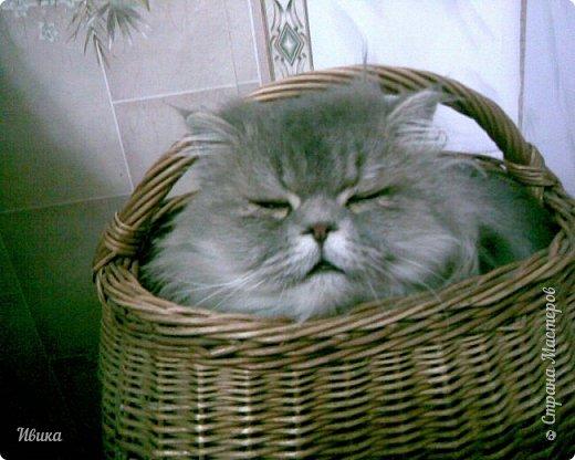 """Как я уже писала вот здесь  http://stranamasterov.ru/node/976335  у нас живут 2 кошки+2 кота и 2 собаки.  Живём мы в частном доме, места для животных больше, чем достаточно.  И наконец-то я собралась с силами и мыслями (и те и другие бывают попеременно)  написать об остальных наших любимцах.  Знакомьтесь - Томас. Он же - Сер Том. Он же - Томашек, он же- Масяня, он же - Маха. В зависимости от ситуации и степени шкодности. Таким мы принесли его домой 7 лет назад. История появления - это отдельная история. После того, как у нас пропал бесследно очередной кот, после наших с дочей слёз по поводу пропажи, муж сказал: """"Никаких котов! Хватит!""""  Оно и понятно, вынянчили, выкормили, обласканный, зацелованный всеми. Знакомо, думаю, многим любителям этих хвостатых. Но... в очередной поход на рынок с дочей и будущим зятем, при входе в рынок, увидели дяденьку, продающего эту серую прелесть! В машине их было штук 6-7. Остановились посмотреть.  Ушли с покупкой, после уговоров дочи и зятя: """"Ну посмотри какие красивые! Ну давай возьмём!""""  Мои аргументы, что папа против, были отброшены одним аргументом: """"Ну он же его ещё не видел! Он же - няшка! Папа его сразу полюбит!"""" Да и как его можно было не полюбить! Взяли. Несём папе. Кто признается в покупке?!  Мама, конечно же! Но показали Томаса папе дети. И... папа влюбился в него с первого взгляда! А эта серая шкодина и сейчас отдаёт ему предпочтение между всеми нами! Имя ему придумывали не очень долго. Как-то само пришло - Том, Томас. фото 17"""