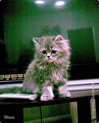 """Как я уже писала вот здесь  http://stranamasterov.ru/node/976335  у нас живут 2 кошки+2 кота и 2 собаки.  Живём мы в частном доме, места для животных больше, чем достаточно.  И наконец-то я собралась с силами и мыслями (и те и другие бывают попеременно)  написать об остальных наших любимцах.  Знакомьтесь - Томас. Он же - Сер Том. Он же - Томашек, он же- Масяня, он же - Маха. В зависимости от ситуации и степени шкодности. Таким мы принесли его домой 7 лет назад. История появления - это отдельная история. После того, как у нас пропал бесследно очередной кот, после наших с дочей слёз по поводу пропажи, муж сказал: """"Никаких котов! Хватит!""""  Оно и понятно, вынянчили, выкормили, обласканный, зацелованный всеми. Знакомо, думаю, многим любителям этих хвостатых. Но... в очередной поход на рынок с дочей и будущим зятем, при входе в рынок, увидели дяденьку, продающего эту серую прелесть! В машине их было штук 6-7. Остановились посмотреть.  Ушли с покупкой, после уговоров дочи и зятя: """"Ну посмотри какие красивые! Ну давай возьмём!""""  Мои аргументы, что папа против, были отброшены одним аргументом: """"Ну он же его ещё не видел! Он же - няшка! Папа его сразу полюбит!"""" Да и как его можно было не полюбить! Взяли. Несём папе. Кто признается в покупке?!  Мама, конечно же! Но показали Томаса папе дети. И... папа влюбился в него с первого взгляда! А эта серая шкодина и сейчас отдаёт ему предпочтение между всеми нами! Имя ему придумывали не очень долго. Как-то само пришло - Том, Томас. фото 3"""