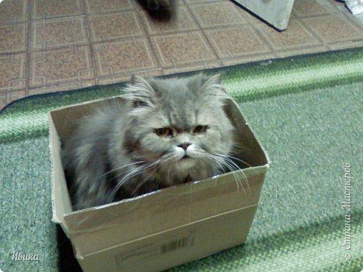 """Как я уже писала вот здесь  http://stranamasterov.ru/node/976335  у нас живут 2 кошки+2 кота и 2 собаки.  Живём мы в частном доме, места для животных больше, чем достаточно.  И наконец-то я собралась с силами и мыслями (и те и другие бывают попеременно)  написать об остальных наших любимцах.  Знакомьтесь - Томас. Он же - Сер Том. Он же - Томашек, он же- Масяня, он же - Маха. В зависимости от ситуации и степени шкодности. Таким мы принесли его домой 7 лет назад. История появления - это отдельная история. После того, как у нас пропал бесследно очередной кот, после наших с дочей слёз по поводу пропажи, муж сказал: """"Никаких котов! Хватит!""""  Оно и понятно, вынянчили, выкормили, обласканный, зацелованный всеми. Знакомо, думаю, многим любителям этих хвостатых. Но... в очередной поход на рынок с дочей и будущим зятем, при входе в рынок, увидели дяденьку, продающего эту серую прелесть! В машине их было штук 6-7. Остановились посмотреть.  Ушли с покупкой, после уговоров дочи и зятя: """"Ну посмотри какие красивые! Ну давай возьмём!""""  Мои аргументы, что папа против, были отброшены одним аргументом: """"Ну он же его ещё не видел! Он же - няшка! Папа его сразу полюбит!"""" Да и как его можно было не полюбить! Взяли. Несём папе. Кто признается в покупке?!  Мама, конечно же! Но показали Томаса папе дети. И... папа влюбился в него с первого взгляда! А эта серая шкодина и сейчас отдаёт ему предпочтение между всеми нами! Имя ему придумывали не очень долго. Как-то само пришло - Том, Томас. фото 16"""