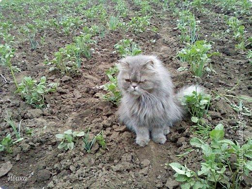 """Как я уже писала вот здесь  http://stranamasterov.ru/node/976335  у нас живут 2 кошки+2 кота и 2 собаки.  Живём мы в частном доме, места для животных больше, чем достаточно.  И наконец-то я собралась с силами и мыслями (и те и другие бывают попеременно)  написать об остальных наших любимцах.  Знакомьтесь - Томас. Он же - Сер Том. Он же - Томашек, он же- Масяня, он же - Маха. В зависимости от ситуации и степени шкодности. Таким мы принесли его домой 7 лет назад. История появления - это отдельная история. После того, как у нас пропал бесследно очередной кот, после наших с дочей слёз по поводу пропажи, муж сказал: """"Никаких котов! Хватит!""""  Оно и понятно, вынянчили, выкормили, обласканный, зацелованный всеми. Знакомо, думаю, многим любителям этих хвостатых. Но... в очередной поход на рынок с дочей и будущим зятем, при входе в рынок, увидели дяденьку, продающего эту серую прелесть! В машине их было штук 6-7. Остановились посмотреть.  Ушли с покупкой, после уговоров дочи и зятя: """"Ну посмотри какие красивые! Ну давай возьмём!""""  Мои аргументы, что папа против, были отброшены одним аргументом: """"Ну он же его ещё не видел! Он же - няшка! Папа его сразу полюбит!"""" Да и как его можно было не полюбить! Взяли. Несём папе. Кто признается в покупке?!  Мама, конечно же! Но показали Томаса папе дети. И... папа влюбился в него с первого взгляда! А эта серая шкодина и сейчас отдаёт ему предпочтение между всеми нами! Имя ему придумывали не очень долго. Как-то само пришло - Том, Томас. фото 21"""