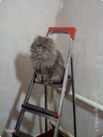 """Как я уже писала вот здесь  http://stranamasterov.ru/node/976335  у нас живут 2 кошки+2 кота и 2 собаки.  Живём мы в частном доме, места для животных больше, чем достаточно.  И наконец-то я собралась с силами и мыслями (и те и другие бывают попеременно)  написать об остальных наших любимцах.  Знакомьтесь - Томас. Он же - Сер Том. Он же - Томашек, он же- Масяня, он же - Маха. В зависимости от ситуации и степени шкодности. Таким мы принесли его домой 7 лет назад. История появления - это отдельная история. После того, как у нас пропал бесследно очередной кот, после наших с дочей слёз по поводу пропажи, муж сказал: """"Никаких котов! Хватит!""""  Оно и понятно, вынянчили, выкормили, обласканный, зацелованный всеми. Знакомо, думаю, многим любителям этих хвостатых. Но... в очередной поход на рынок с дочей и будущим зятем, при входе в рынок, увидели дяденьку, продающего эту серую прелесть! В машине их было штук 6-7. Остановились посмотреть.  Ушли с покупкой, после уговоров дочи и зятя: """"Ну посмотри какие красивые! Ну давай возьмём!""""  Мои аргументы, что папа против, были отброшены одним аргументом: """"Ну он же его ещё не видел! Он же - няшка! Папа его сразу полюбит!"""" Да и как его можно было не полюбить! Взяли. Несём папе. Кто признается в покупке?!  Мама, конечно же! Но показали Томаса папе дети. И... папа влюбился в него с первого взгляда! А эта серая шкодина и сейчас отдаёт ему предпочтение между всеми нами! Имя ему придумывали не очень долго. Как-то само пришло - Том, Томас. фото 20"""