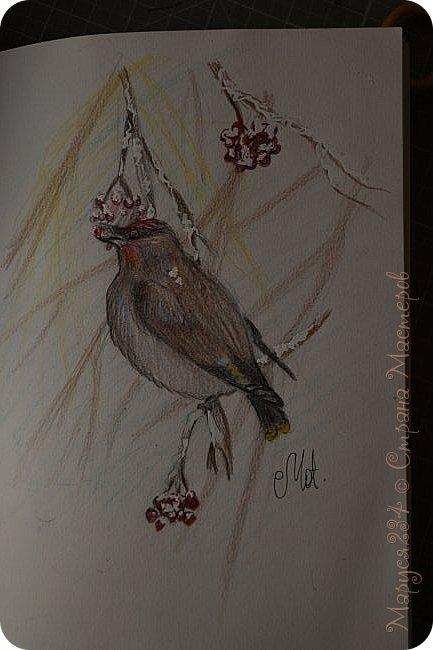 """Всем привет! Наконец-то я проснулась от зимней спячки. Сегодня я сдаю работу (И не одну!) на конкурс """"В мире птиц"""" Это работа №1 Птичка зимой кушает ягодки. Рисовала на уроке истории ))) фото 1"""