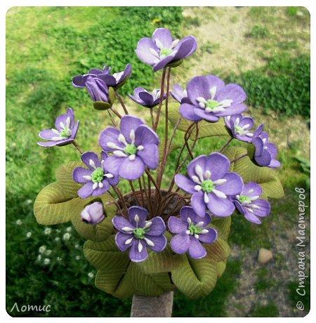 Один из самых ранних очаровательных первоцветов - печеночница (гепатика). фото 2