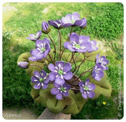 Один из самых ранних очаровательных первоцветов - печеночница (гепатика). фото 3