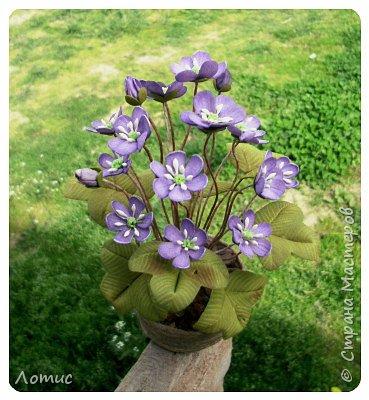 Один из самых ранних очаровательных первоцветов - печеночница (гепатика). фото 1