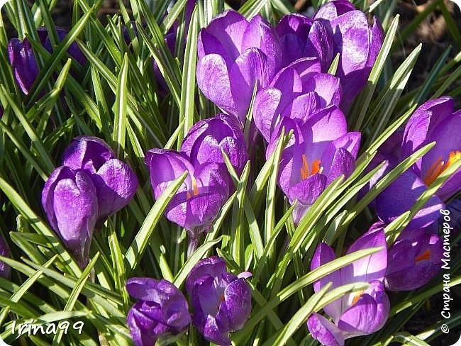 С Весной Вас,дорогие мои! С первыми цветами..с солнышком,с теплом, с хорошим настроением,вдохновением. Пусть  эта весна будет у все доброй.... Ах, сколько же  фотографий я вам не показала.... исправляюсь! Начинаю вот такой красоты....У нас уже всё цветёт! фото 21