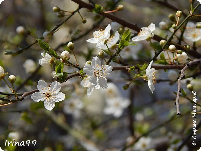 С Весной Вас,дорогие мои! С первыми цветами..с солнышком,с теплом, с хорошим настроением,вдохновением. Пусть  эта весна будет у все доброй.... Ах, сколько же  фотографий я вам не показала.... исправляюсь! Начинаю вот такой красоты....У нас уже всё цветёт! фото 31