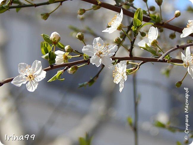 С Весной Вас,дорогие мои! С первыми цветами..с солнышком,с теплом, с хорошим настроением,вдохновением. Пусть  эта весна будет у все доброй.... Ах, сколько же  фотографий я вам не показала.... исправляюсь! Начинаю вот такой красоты....У нас уже всё цветёт! фото 28
