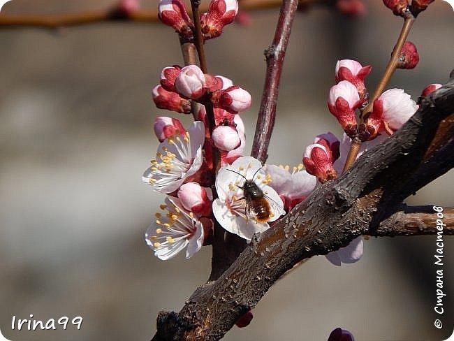 С Весной Вас,дорогие мои! С первыми цветами..с солнышком,с теплом, с хорошим настроением,вдохновением. Пусть  эта весна будет у все доброй.... Ах, сколько же  фотографий я вам не показала.... исправляюсь! Начинаю вот такой красоты....У нас уже всё цветёт! фото 33