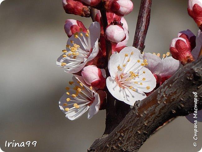С Весной Вас,дорогие мои! С первыми цветами..с солнышком,с теплом, с хорошим настроением,вдохновением. Пусть  эта весна будет у все доброй.... Ах, сколько же  фотографий я вам не показала.... исправляюсь! Начинаю вот такой красоты....У нас уже всё цветёт! фото 34