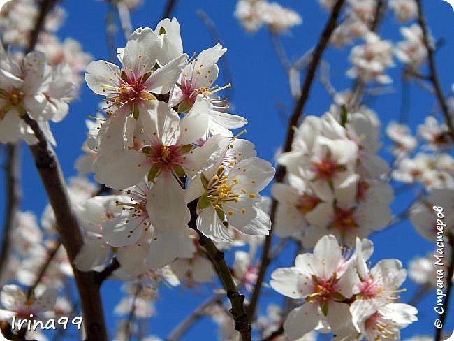С Весной Вас,дорогие мои! С первыми цветами..с солнышком,с теплом, с хорошим настроением,вдохновением. Пусть  эта весна будет у все доброй.... Ах, сколько же  фотографий я вам не показала.... исправляюсь! Начинаю вот такой красоты....У нас уже всё цветёт! фото 36