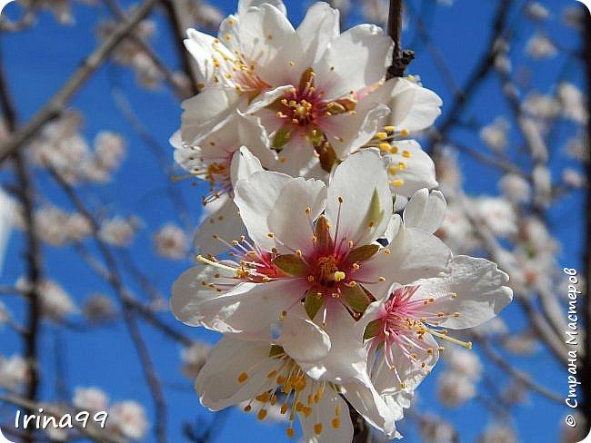 С Весной Вас,дорогие мои! С первыми цветами..с солнышком,с теплом, с хорошим настроением,вдохновением. Пусть  эта весна будет у все доброй.... Ах, сколько же  фотографий я вам не показала.... исправляюсь! Начинаю вот такой красоты....У нас уже всё цветёт! фото 1