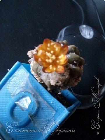 Привет стране! Вот и началось цветение моих зелёных ёжиков - кактусов. К сожалению, два предыдущих случая, когда появлялись бутоны, цветением не закончились - бутоны просто увядали, так и не раскрывшись. Но теперь другое дело. Первым начал цвести кактус Mammillaria microhelia, уже три цветка я успел сфотографировать (в течении пяти предыдущих дней). фото 12