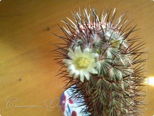 Привет стране! Вот и началось цветение моих зелёных ёжиков - кактусов. К сожалению, два предыдущих случая, когда появлялись бутоны, цветением не закончились - бутоны просто увядали, так и не раскрывшись. Но теперь другое дело. Первым начал цвести кактус Mammillaria microhelia, уже три цветка я успел сфотографировать (в течении пяти предыдущих дней). фото 2