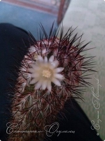 Привет стране! Вот и началось цветение моих зелёных ёжиков - кактусов. К сожалению, два предыдущих случая, когда появлялись бутоны, цветением не закончились - бутоны просто увядали, так и не раскрывшись. Но теперь другое дело. Первым начал цвести кактус Mammillaria microhelia, уже три цветка я успел сфотографировать (в течении пяти предыдущих дней). фото 1