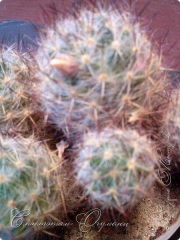 Привет стране! Вот и началось цветение моих зелёных ёжиков - кактусов. К сожалению, два предыдущих случая, когда появлялись бутоны, цветением не закончились - бутоны просто увядали, так и не раскрывшись. Но теперь другое дело. Первым начал цвести кактус Mammillaria microhelia, уже три цветка я успел сфотографировать (в течении пяти предыдущих дней). фото 4