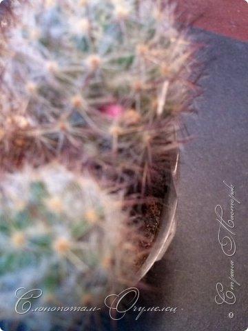 Привет стране! Вот и началось цветение моих зелёных ёжиков - кактусов. К сожалению, два предыдущих случая, когда появлялись бутоны, цветением не закончились - бутоны просто увядали, так и не раскрывшись. Но теперь другое дело. Первым начал цвести кактус Mammillaria microhelia, уже три цветка я успел сфотографировать (в течении пяти предыдущих дней). фото 5