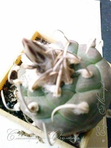 Привет стране! Вот и началось цветение моих зелёных ёжиков - кактусов. К сожалению, два предыдущих случая, когда появлялись бутоны, цветением не закончились - бутоны просто увядали, так и не раскрывшись. Но теперь другое дело. Первым начал цвести кактус Mammillaria microhelia, уже три цветка я успел сфотографировать (в течении пяти предыдущих дней). фото 6