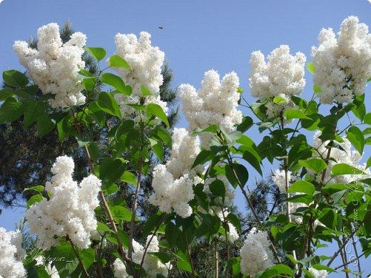 В ожидании цветущей весенней поры решила поделиться фотографиями сиреневых чудес...  фото 2