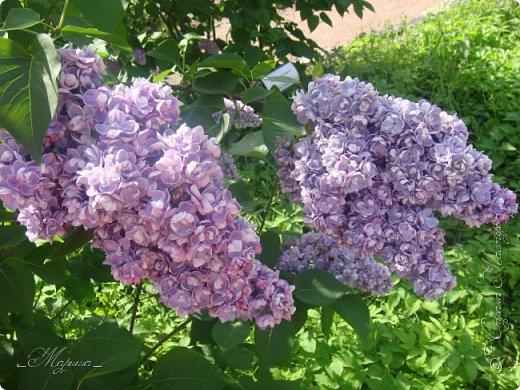 В ожидании цветущей весенней поры решила поделиться фотографиями сиреневых чудес...  фото 3