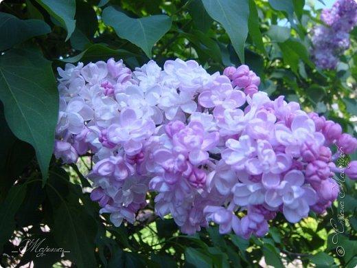 В ожидании цветущей весенней поры решила поделиться фотографиями сиреневых чудес...  фото 4