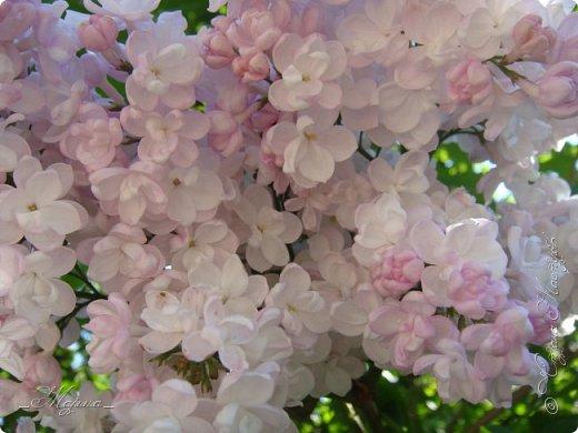 В ожидании цветущей весенней поры решила поделиться фотографиями сиреневых чудес...  фото 5