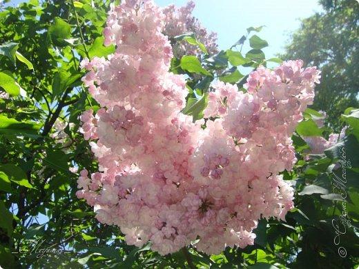 В ожидании цветущей весенней поры решила поделиться фотографиями сиреневых чудес...  фото 6