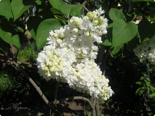 В ожидании цветущей весенней поры решила поделиться фотографиями сиреневых чудес...  фото 8