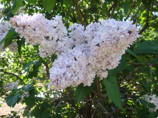 В ожидании цветущей весенней поры решила поделиться фотографиями сиреневых чудес...  фото 9