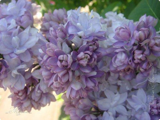 В ожидании цветущей весенней поры решила поделиться фотографиями сиреневых чудес...  фото 11
