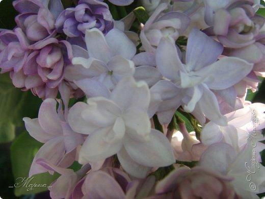 В ожидании цветущей весенней поры решила поделиться фотографиями сиреневых чудес...  фото 12