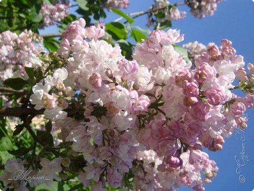 В ожидании цветущей весенней поры решила поделиться фотографиями сиреневых чудес...  фото 13