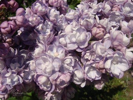 В ожидании цветущей весенней поры решила поделиться фотографиями сиреневых чудес...  фото 14