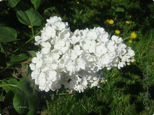 В ожидании цветущей весенней поры решила поделиться фотографиями сиреневых чудес...  фото 16