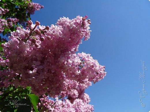 В ожидании цветущей весенней поры решила поделиться фотографиями сиреневых чудес...  фото 17