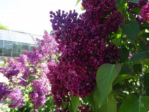 В ожидании цветущей весенней поры решила поделиться фотографиями сиреневых чудес...  фото 18