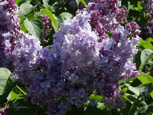 В ожидании цветущей весенней поры решила поделиться фотографиями сиреневых чудес...  фото 19